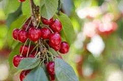 Красные сладостные вишни на ветви Стоковые Изображения RF