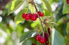Красные сладостные вишни на ветви Стоковое Изображение