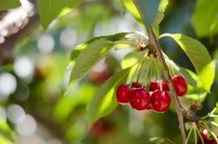 Красные сладостные вишни на ветви Стоковое Фото
