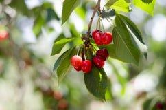Красные сладостные вишни на ветви Стоковые Фотографии RF