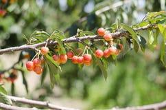 Красные сладостные вишни на ветви Стоковое Изображение RF
