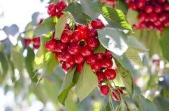 Красные сладостные вишни на ветви Стоковые Фото