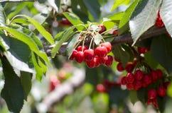 Красные сладостные вишни на ветви Стоковые Изображения
