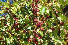 Красные сливы растя на ветви Стоковое Фото