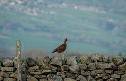 Красные тетеревиные Cockbird стояли на Drystone огораживать в весеннем времени стоковые фотографии rf