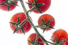 Красные томаты вишни на ветви на белой предпосылке Стоковая Фотография RF