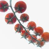 Красные томаты вишни на ветви на белой предпосылке Стоковые Изображения RF
