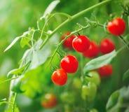 красные томаты все еще на заводе дерева Стоковые Фото