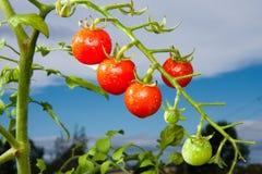 красные томаты Стоковое Изображение