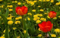 красные тюльпаны вала Стоковая Фотография