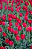 Красные тюльпаны в парке Стоковое фото RF