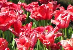 Красные тюльпаны в ярком солнечном свете стоковые фотографии rf