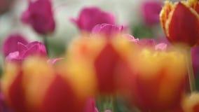 Красные тюльпаны закрывают вверх