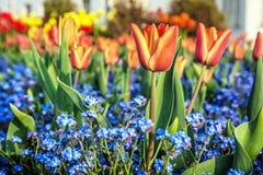 Красные тюльпаны и цветки незабудки Стоковая Фотография RF