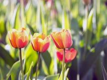 Красные тюльпаны красивейшая весна цветков Стоковое Изображение
