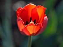 Красные тюльпаны красивейшая весна цветков Стоковое фото RF