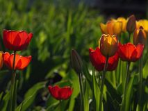 Красные тюльпаны красивейшая весна цветков Стоковая Фотография