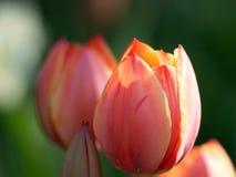 Красные тюльпаны красивейшая весна цветков Стоковые Фотографии RF