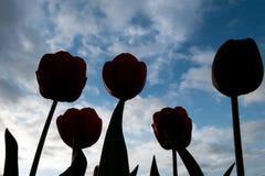 Красные тюльпаны назад-осветили на утре весны стоковые фотографии rf