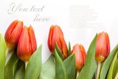 Красные тюльпаны на белой предпосылке стоковая фотография rf