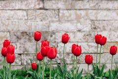 Красные тюльпаны на предпосылке античной кирпичной кладки с местом для текста стоковые фотографии rf