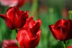 Красные тюльпаны на ровном зеленом backgroung стоковое изображение rf