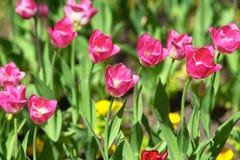 Красные тюльпаны на солнечный день на зеленой предпосылке Возрождение ранга тюльпана красное стоковая фотография