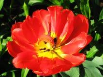 Красные тюльпаны на flowerbed в парке Стоковая Фотография RF