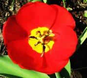 Красные тюльпаны на flowerbed в парке Стоковые Изображения RF