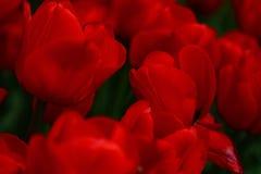Красные тюльпаны символизируя влюбленность и привязанность в цветке паркуют сады Стоковое Изображение