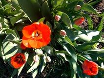 Красные тюльпаны с зелеными листьями Стоковое Изображение