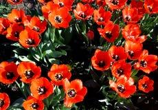 Красные тюльпаны с зелеными листьями Стоковые Изображения
