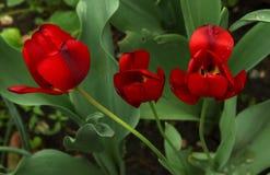 Красные тюльпаны с зелеными стержнями и растительностью стоковое фото rf