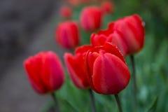 Красные тюльпаны с падениями росы стоковая фотография rf