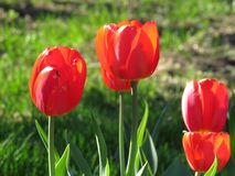 Красные тюльпаны цветут близко вверх с картиной предпосылки тюльпана стоковое фото rf