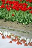 красные тюльпаны Стоковая Фотография