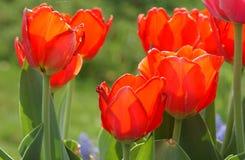 Красные тюльпаны весны Стоковое Изображение RF