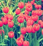 Красные тюльпаны винтажные Стоковые Изображения RF