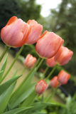 Красные тюльпаны все вместе Стоковое Изображение