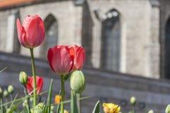 Красные тюльпаны в городке Стоковая Фотография