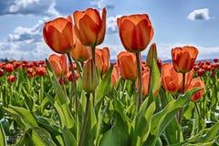 Красные тюльпаны в поле Стоковые Изображения