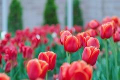 Красные тюльпаны в расчистке Стоковое Фото