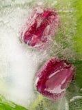 Красные тюльпаны в льде Стоковая Фотография
