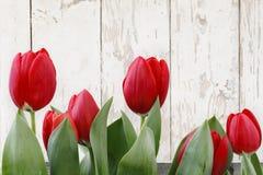 Красные тюльпаны изолированные на белых деревянных планках Стоковое Фото