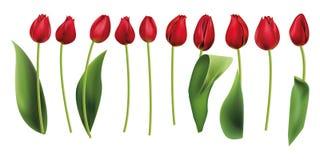 Красные тюльпаны изолировали реалистическое Стоковые Фото