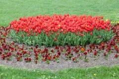 Красные тюльпаны и фиолеты в парке против детенышей весны цветка принципиальной схемы предпосылки белых желтых Стоковая Фотография