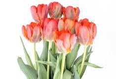 Красные тюльпаны на белой предпосылке Стоковые Изображения RF