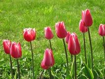 Красные тюльпаны на зеленой траве стоковое изображение