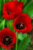 Красные тюльпаны на предпосылке запачканной зеленым цветом Стоковое фото RF