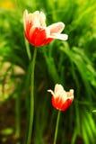 Красные тюльпаны на предпосылке сада лета стоковое изображение